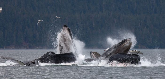 Alaska cruise vacation: whale watching tour